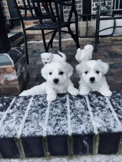 Maltese puppies male and female for sale