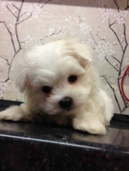 Maltese puppies for sale . contact me for more info