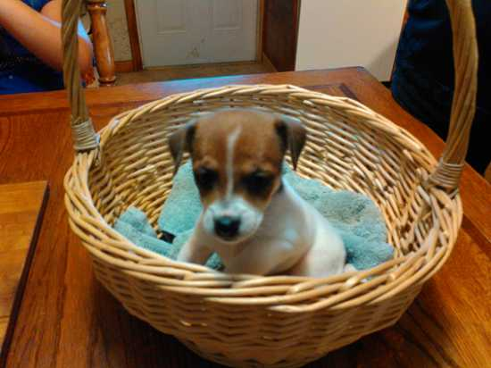 Cute jack Russell Puppies male and female